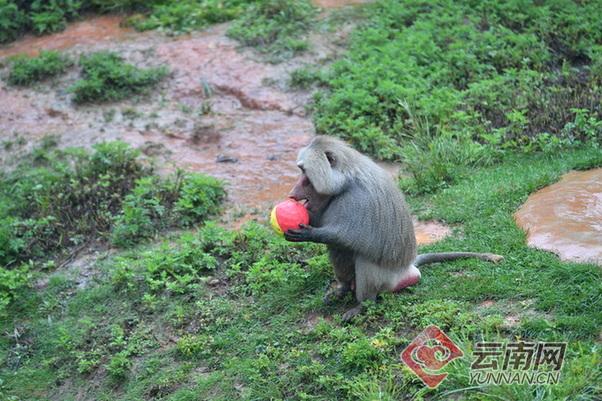 端午节好热闹 云南野生动物园的动物们也有粽子吃