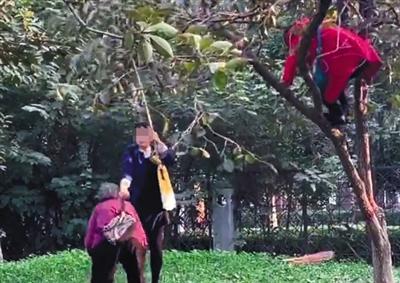 邯郸学院万斤柿子遭校外人士强摘