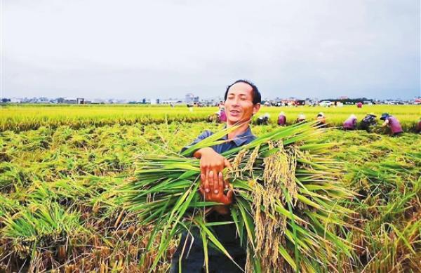 云南杂交稻片测突破每公顷17吨 由袁隆平单位选育