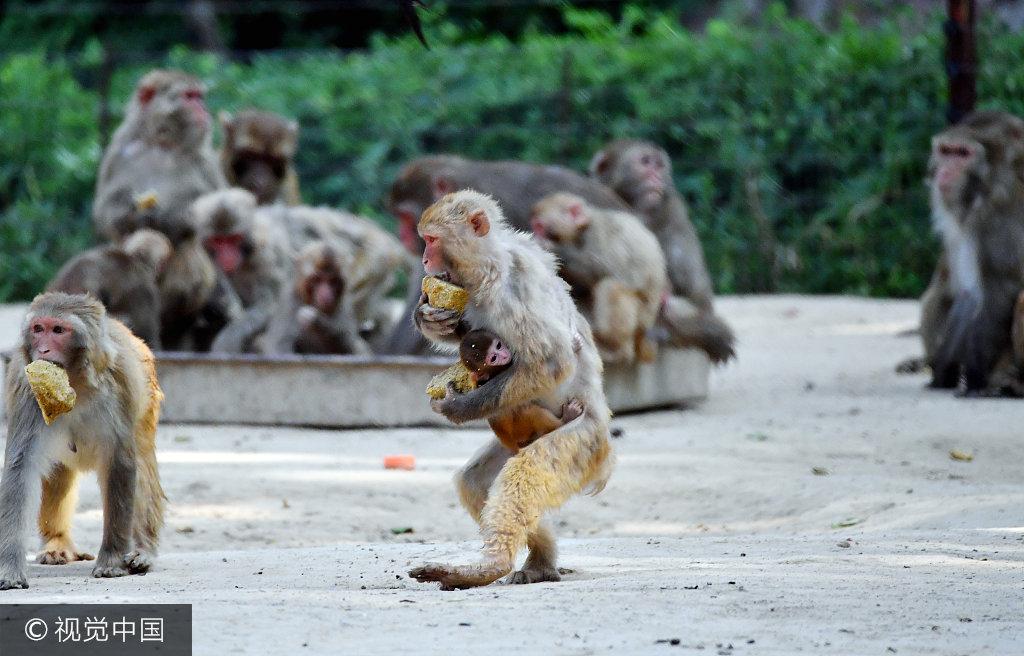 2017年7月11日,郑州动物园猴山内,猴山里,众多猴子在按照自己的生活