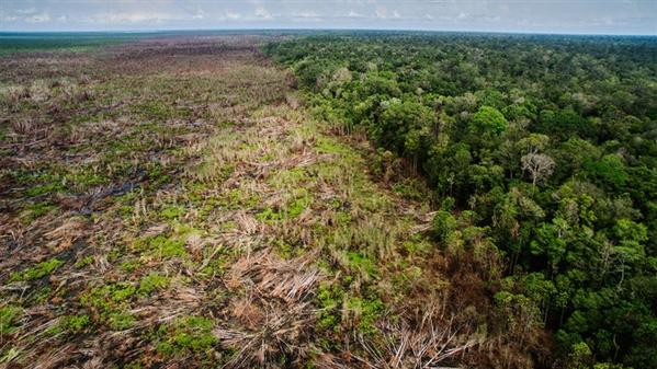 印度尼西亚婆罗洲的森林正因为一个油棕榈种植园而遭到砍伐.