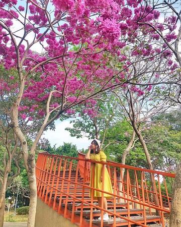 台中洋红风铃木提前开花 漫步赏花天桥拍意境美照