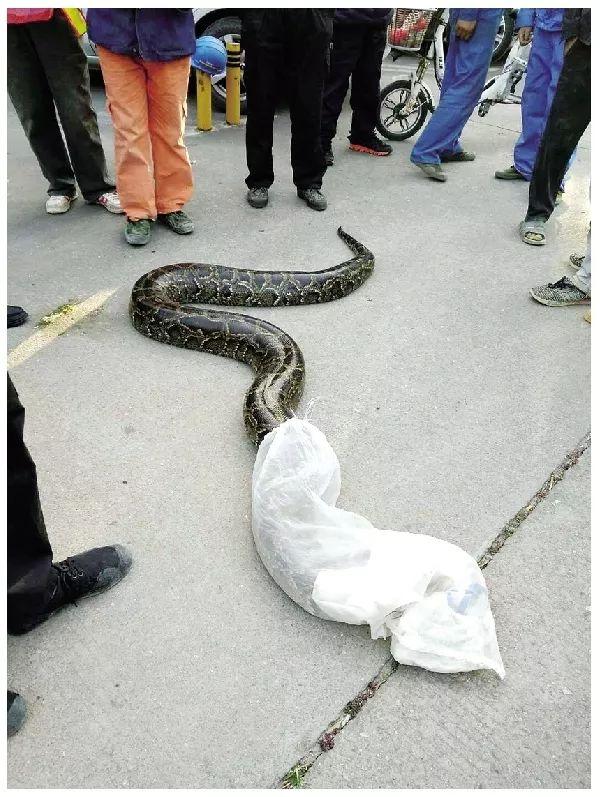蛇口惊现100余斤大蟒蛇,抓捕现场吓坏众人!视频慎点