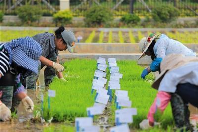 炒概念名不副实?科技日报:浮夸之风吹歪了海水稻