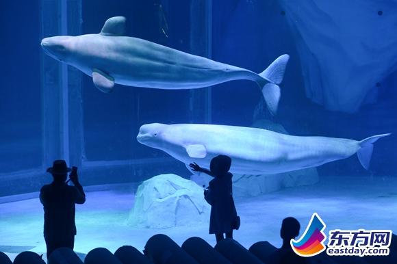 可爱的白鲸吸引了不少游客的目光.
