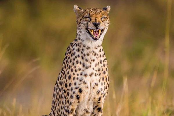 可爱极了!凶残的猎豹也会咧嘴大笑