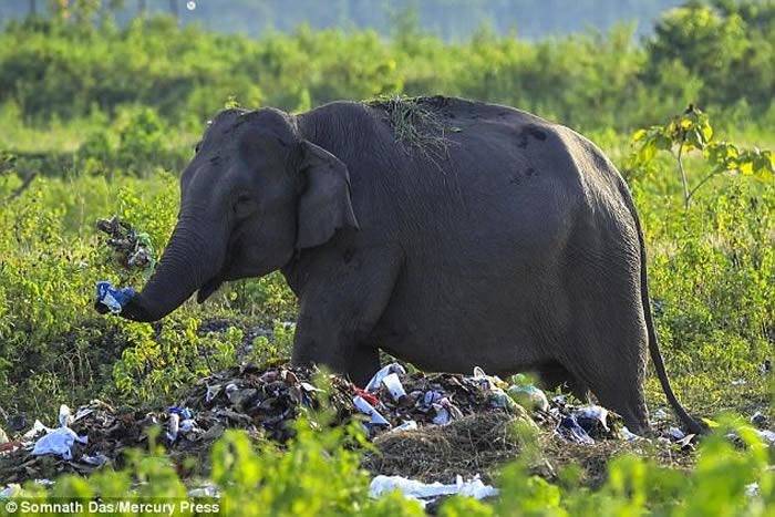 摄影师拍到印度西孟加拉省大象吃塑料垃圾