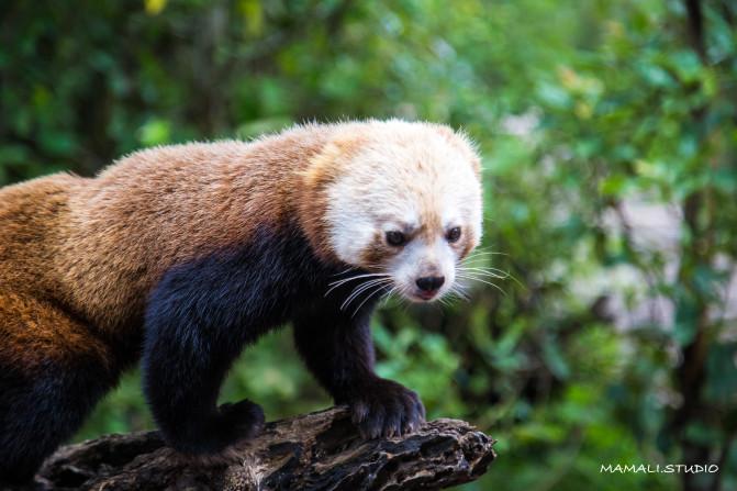 普洱太阳河国家森林公园里的明星动物当然是小熊猫了!