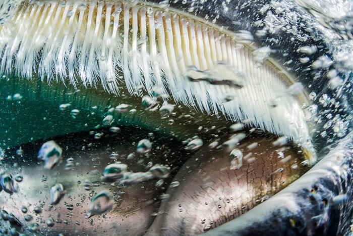 蓝鲸没有牙齿的祖先进化出帮助其捕食浮游动物的鲸须