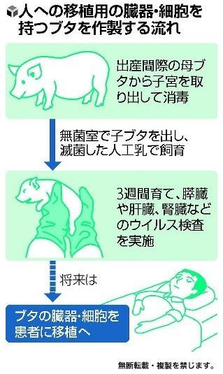 日本培养出人体脏器移植用猪 可人体移植