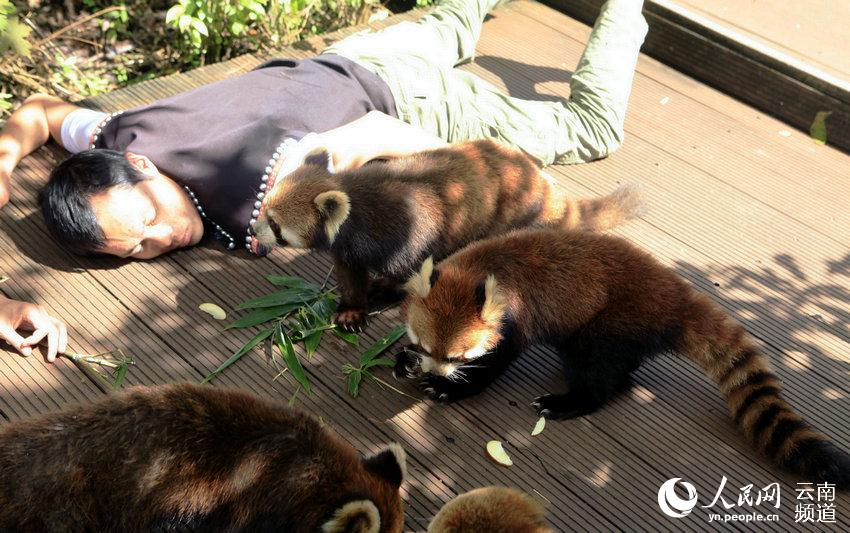 小熊猫靠近摔倒的动物观察员吃竹叶.(供图)