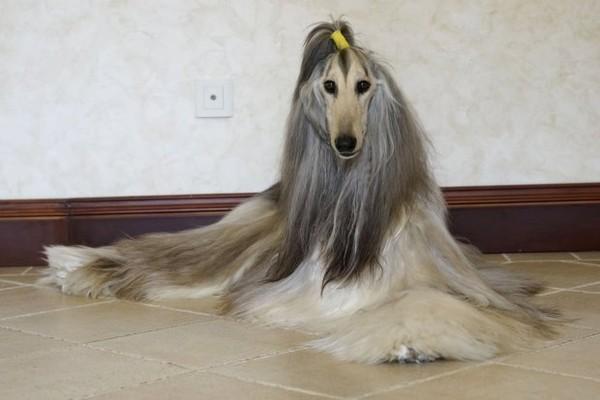 阿富汗犬价格_阿富汗犬吧_阿富汗犬是哪个国家的