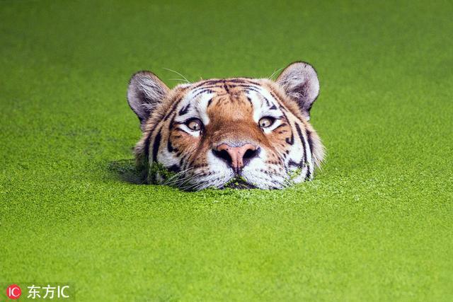 丹麦哥本哈根动物园内,一头凶猛的老虎一反常态,平静地在