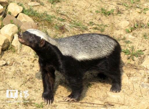 """科普一下,平头哥,学名蜜獾,以""""世界上最无所畏惧的动物""""被收录在"""