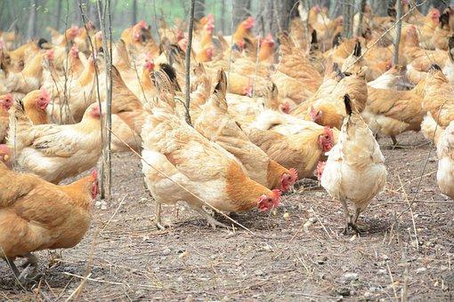 三黄鸡是公鸡还是母鸡?一般多少钱一斤?养一