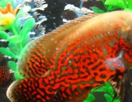 十大养不死的热带观赏鱼有哪些?新手最好养的