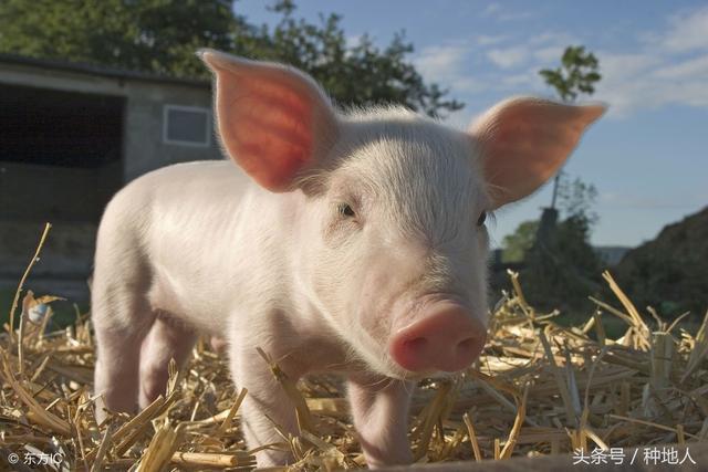 猪粪怎么发酵?—吨猪粪寺予多少化肥?
