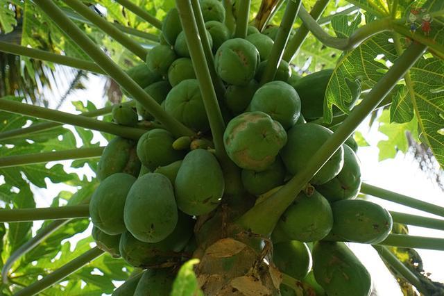除了造型奇特的船型屋,白查村里满是果实累累的野生椰子树,木瓜树