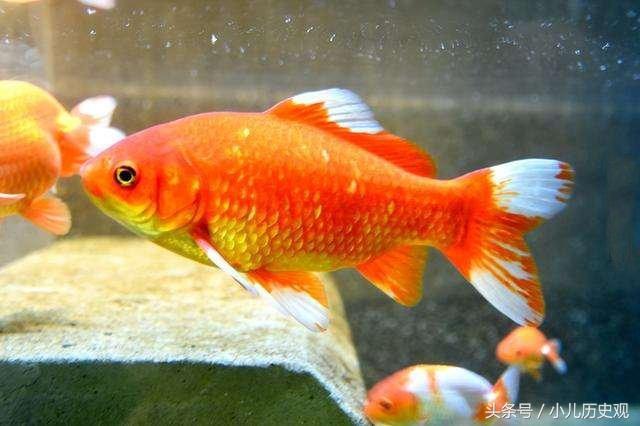 这是一个关于小金鱼的励志故事,在日本的高知市的动物园里,这些小金鱼