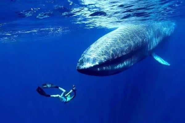 蓝鲸被认为是地球上曾经生存过体型最大的动物,体长可达33米,重达